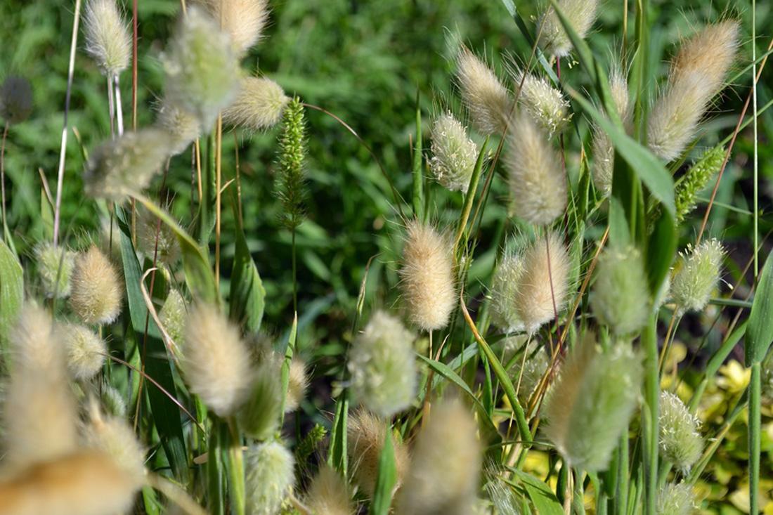 Kiškio uodegėlės (augalai)