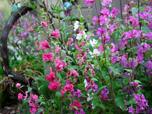 Gėlės nuotrauka. (Pavadinimas: Godetia)