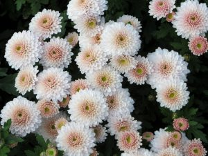 Kreminės chrizantemos