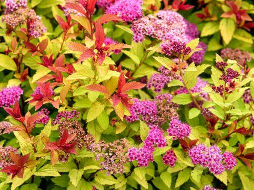 Gėlės nuotrauka. (Pavadinimas: Meadowsweets)