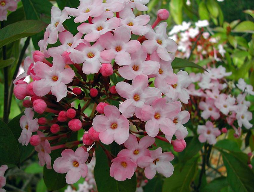 Krūmas lukulija (luculia gratissima)