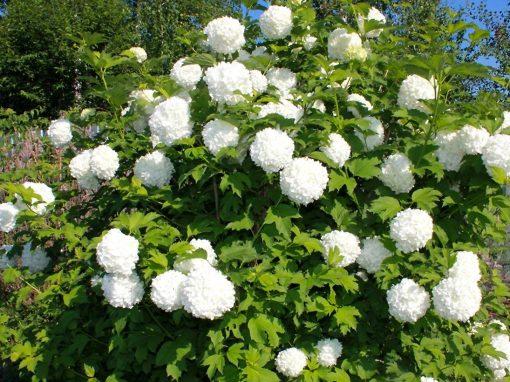 Gėlės nuotrauka. (Pavadinimas: Snowball bush)