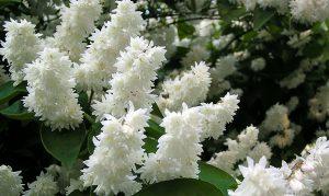 Krūmas radastas deutzia (žydintis baltai)
