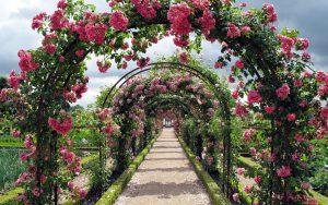 Laipiojančios rožės
