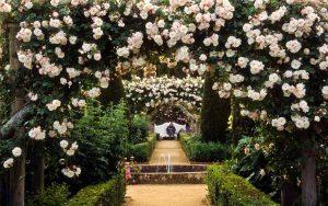 Laipiojančios rožės (vijoklinės gėlės)