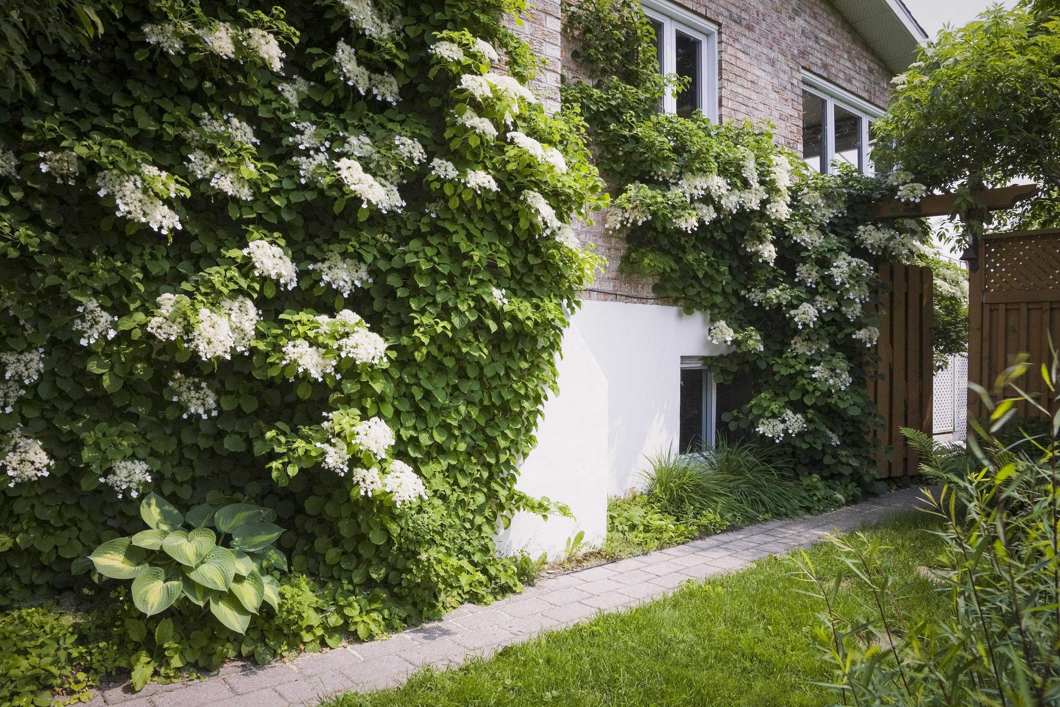 Laipiojanti hortenzija