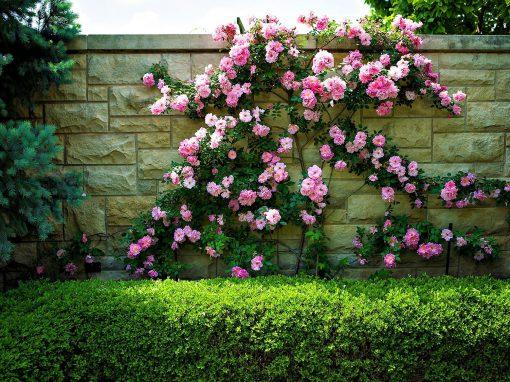 Gėlės nuotrauka. (Pavadinimas: Climbing Rose)