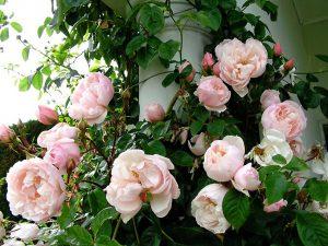 Laipiojanti rožė lauke