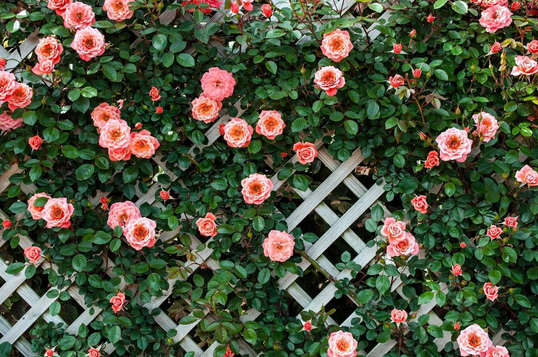 Laipiojanti rožė prie sienelės