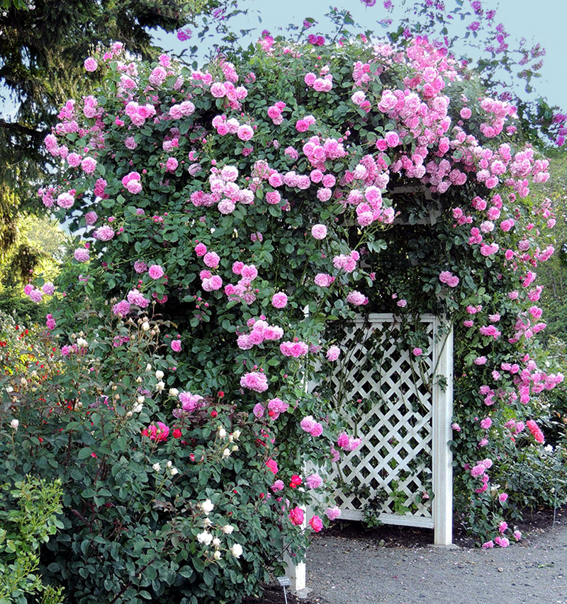 Laipiojančios rožės rožiniais (rausvais) žiedais