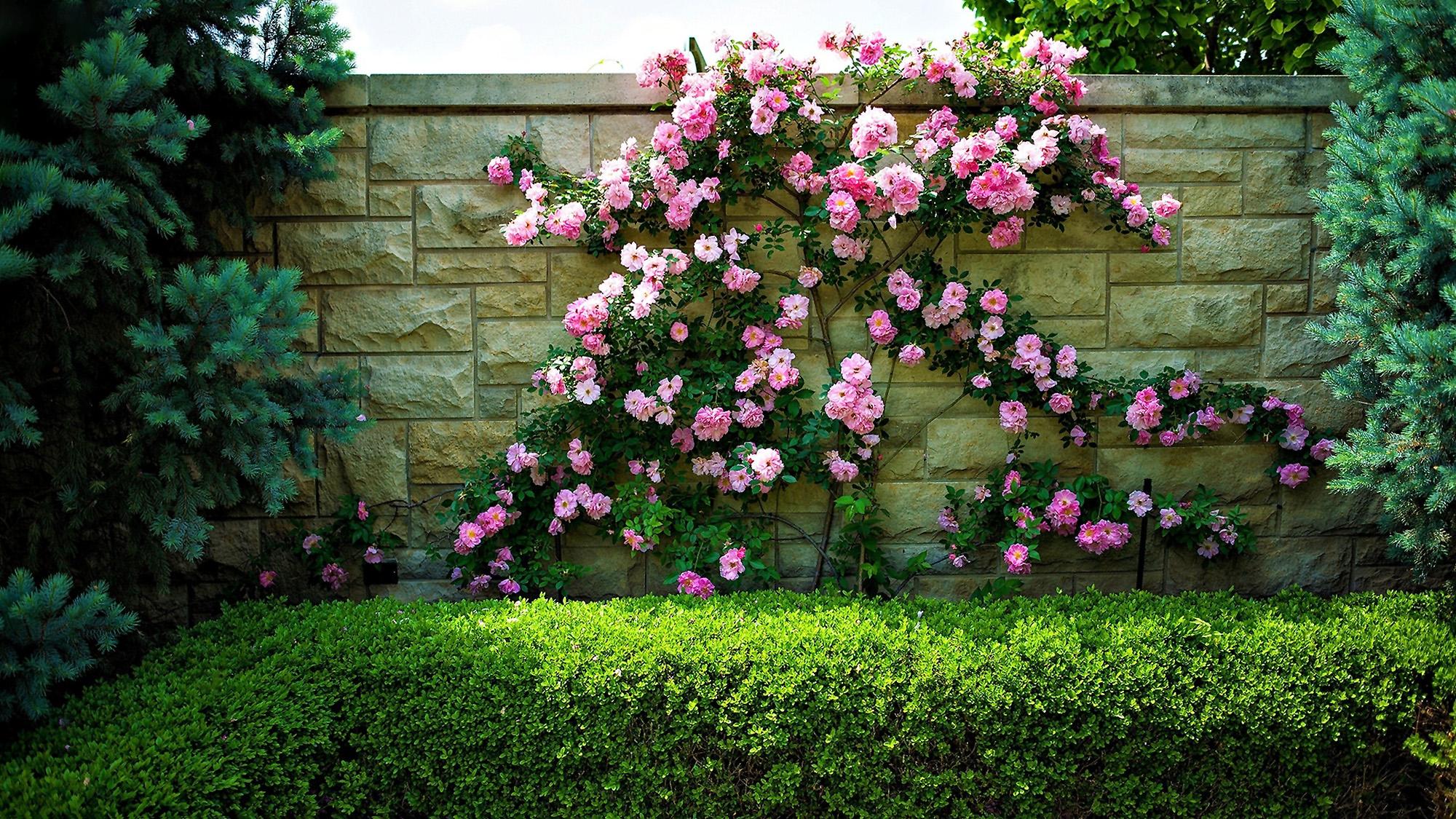 Laipiojanti Rožė