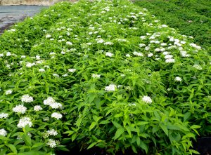 Lanksva japonica albiflora