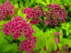 Lanksva japonica froebelii