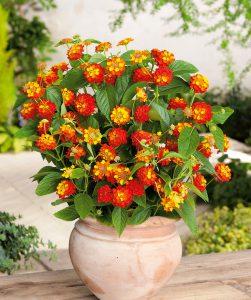 Lantana vazoninė gėlė