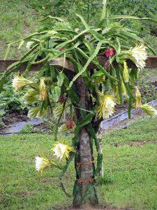 Lapenio kaktuso auginimas