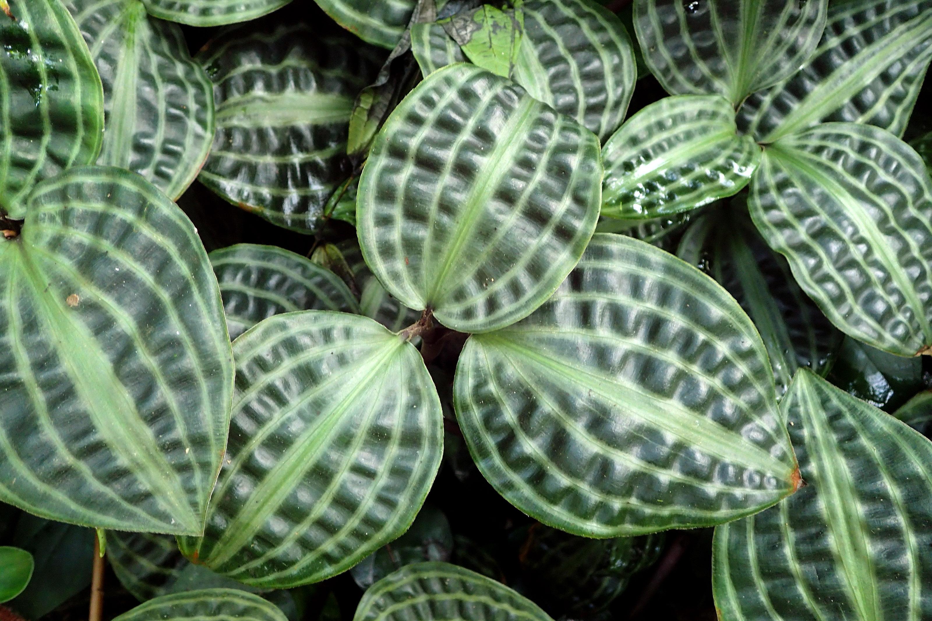 Tropinė lapinė gėlė geogenantas
