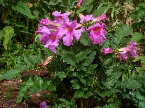 Gėlės nuotrauka. (Pavadinimas: Inkarvilėja)