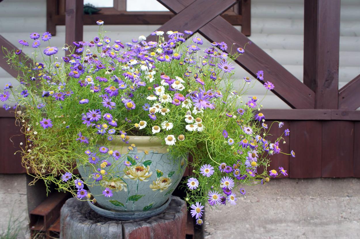 Trumpakuodė (lauko gėlė vazone)