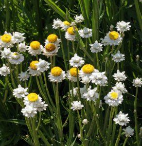 Lauko gėlės sparnuotosios sagutės