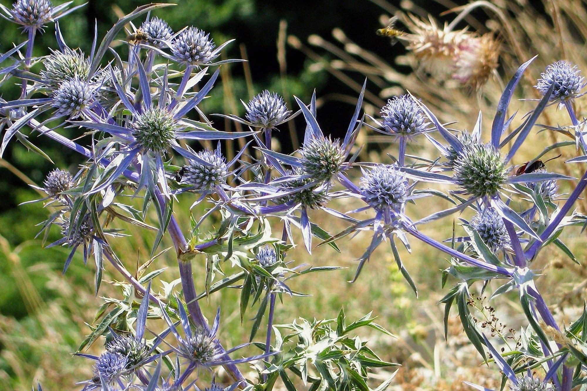 Lauko gėlės zundos (Eryngium)