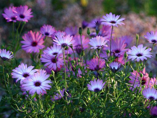 Gėlės nuotrauka. (Pavadinimas: African Daisy)
