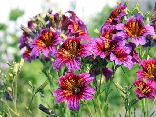 Gėlės nuotrauka. (Pavadinimas: Lenktažiedis trimičius)