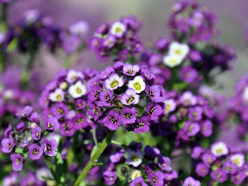 Gėlės nuotrauka. (Pavadinimas: Lobuliarija)