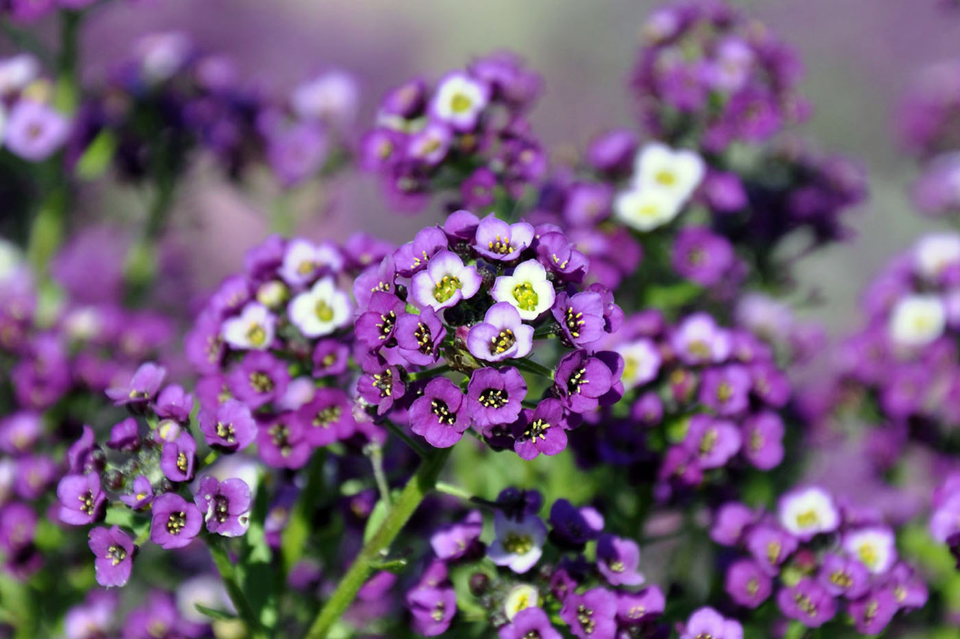 Gėlė Lobuliarija