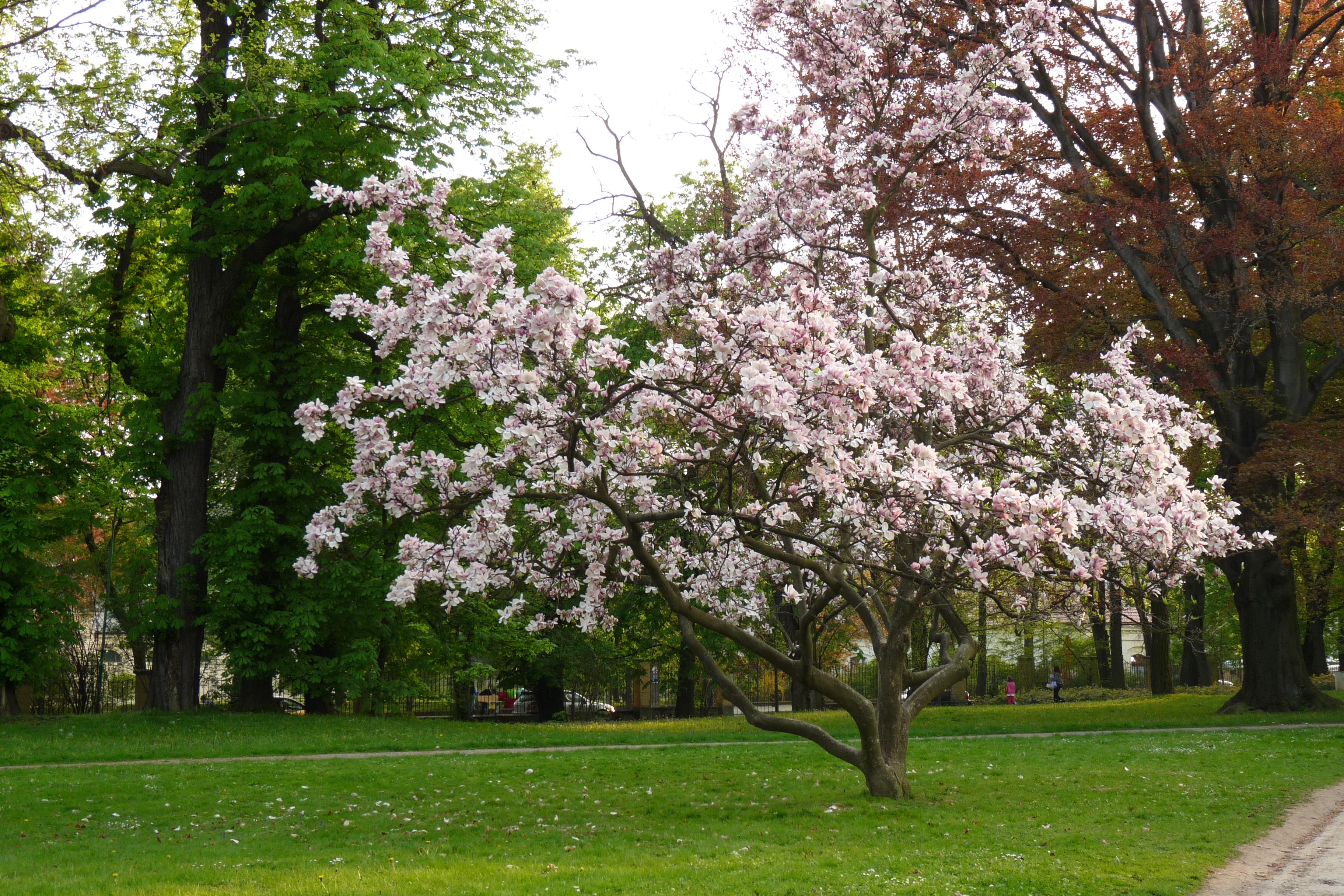 Magnolijos medis