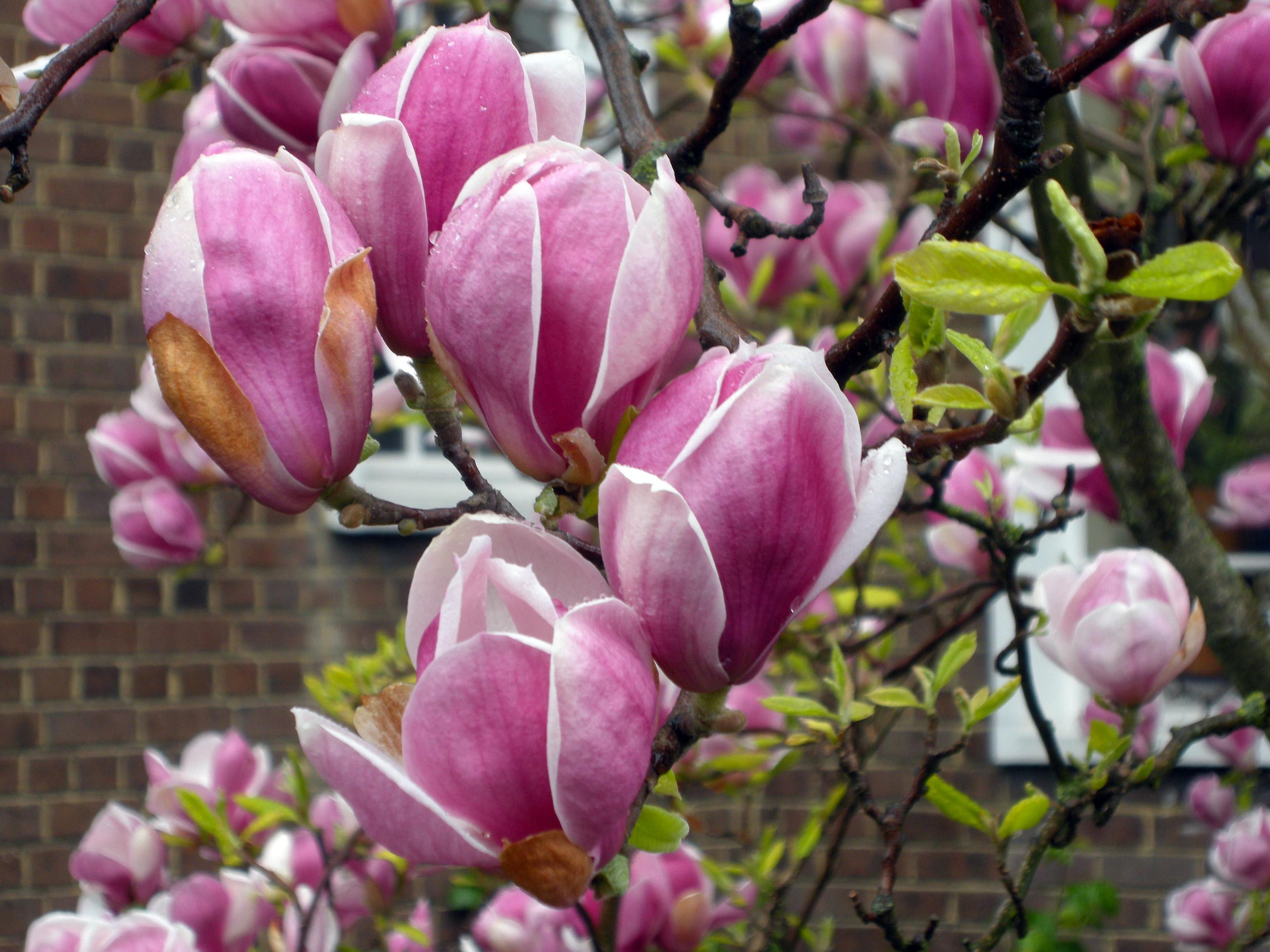 Magnolijos pumpurai