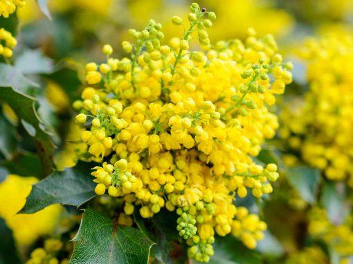 Gėlės nuotrauka. (Pavadinimas: Oregon Grape)