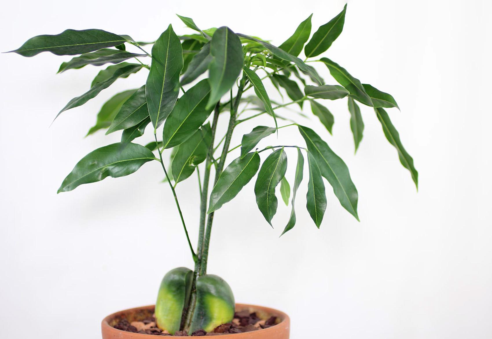 Pietinė Kaštonpupė (augalas)