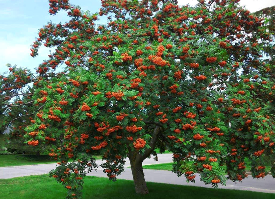 Medis šermukšnis