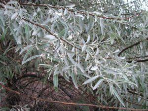 Dekoratyvinis krūmas (medis) žilakrūmis