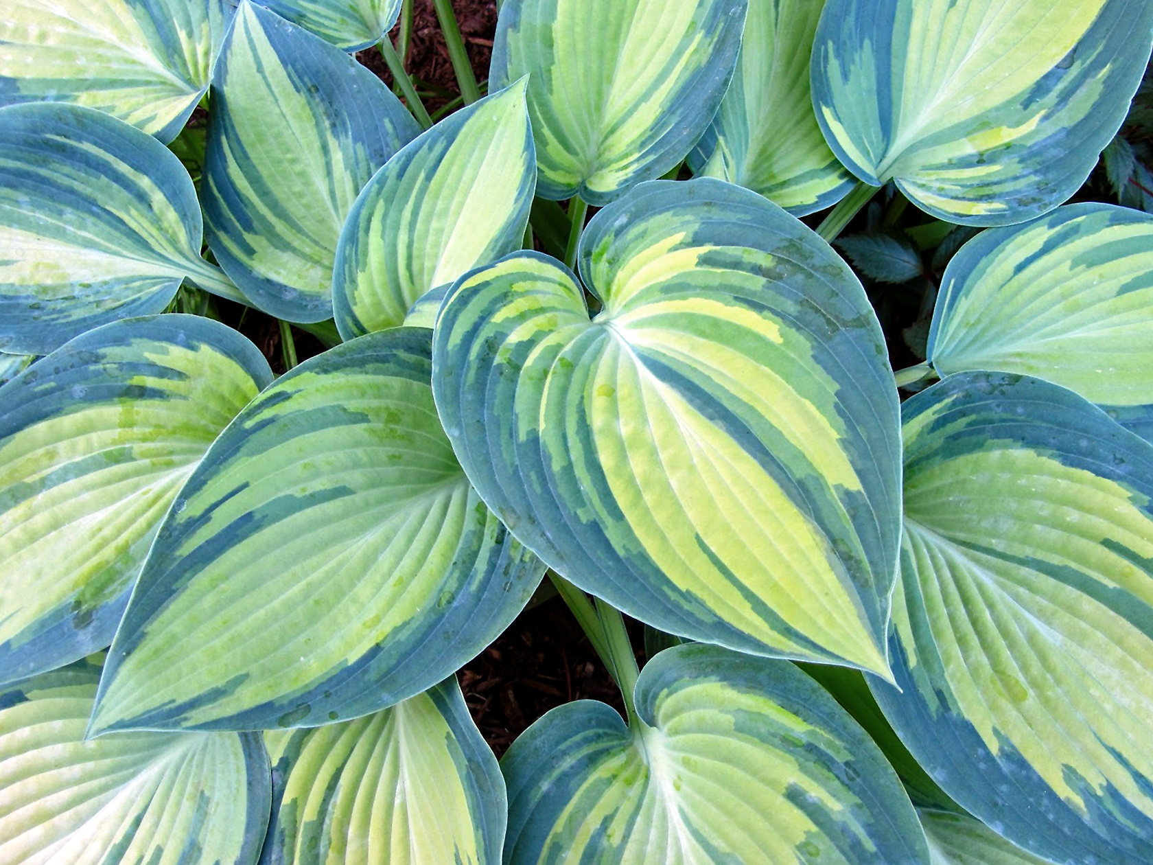 Melsvė 'June' (gėlė hosta)