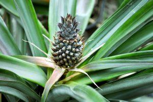 Mini ananasas