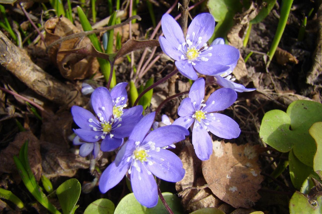 Miško žibuoklės (laukinės mėlynos gėlės)
