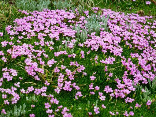 Gėlės nuotrauka. (Pavadinimas: Naktižiedė)