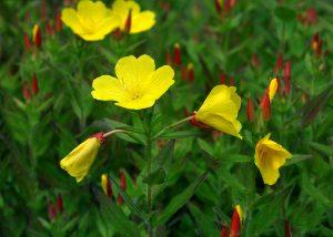Keturbriaunė nakviša (Gėlės)