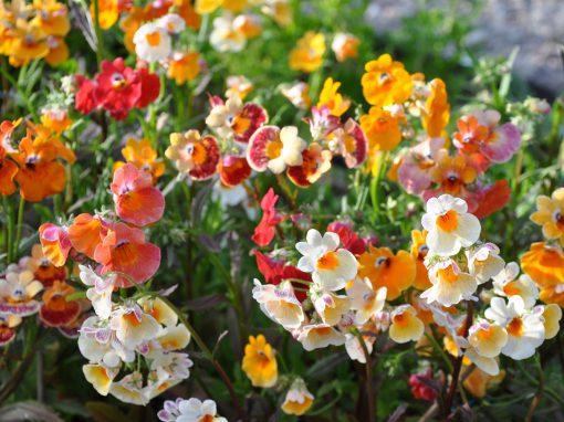 Gėlės nuotrauka. (Pavadinimas: Cape snapdragon)