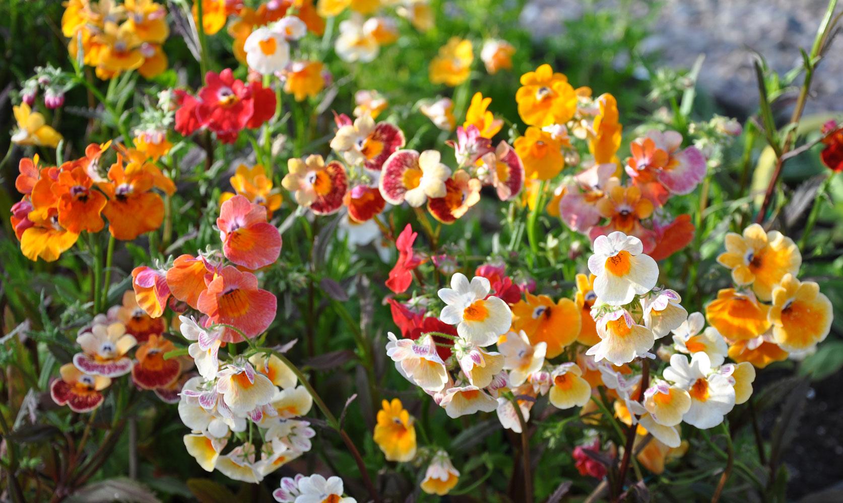 Gėlė Nemezija