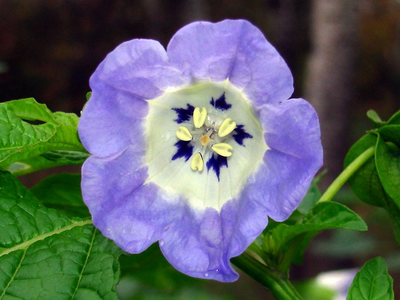 Gėlės Nikandros žiedas