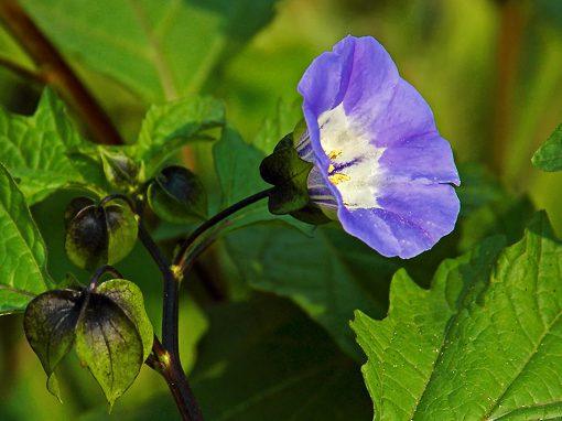 Gėlės nuotrauka. (Pavadinimas: Apple of Peru)
