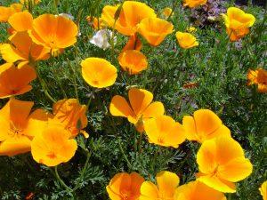 Kaliforninė aguona - Ešolcija