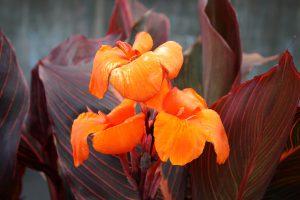 Gėlė Pipytė (oranžinės spalvos)