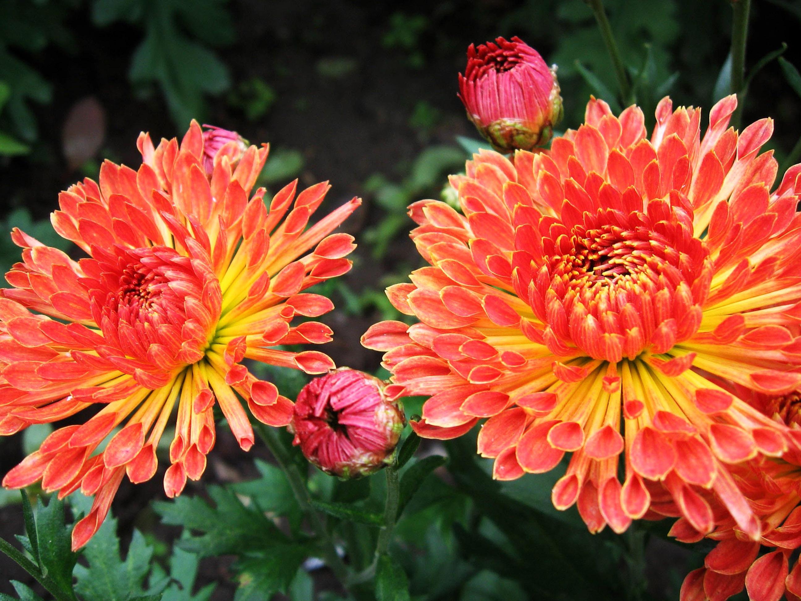 Oranžiniai chrizantemų žiedai