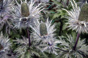 Pajūrinė zunda (gėlės)