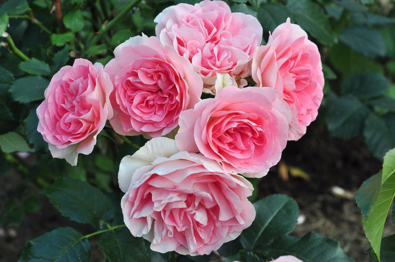 Pilnavidurės rožės