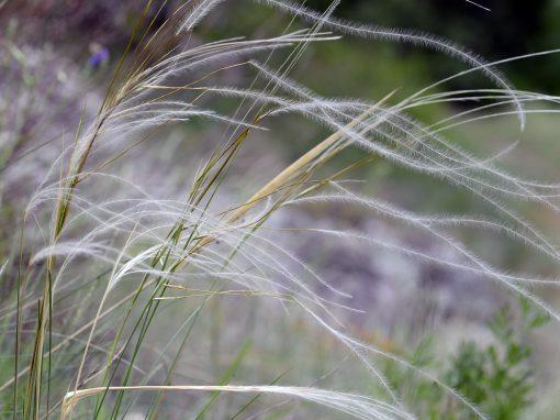 Gėlės nuotrauka. (Pavadinimas: Needle grass)
