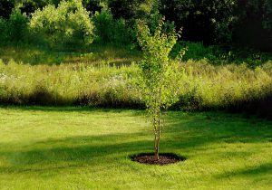 Puošmedžio auginimas ir priežiūra